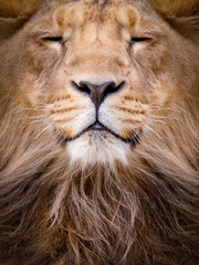 Poster Leeuw Face of a lion closeup