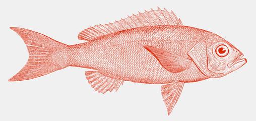 Vermilion snapper or beeliner, rhomboplites aurorubens, a fish from the atlantic ocean in side view Fototapete