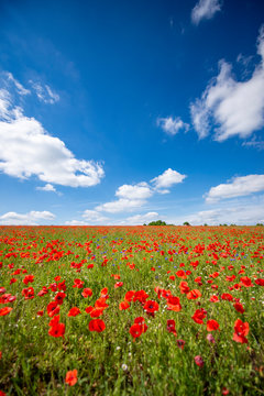 Beautiful summer meadow covered with red poppies