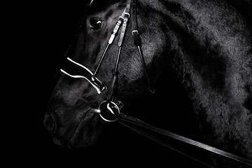 Foto op Canvas Paarden Black purebred friesian horse in black dressage bridle and bit isolated on black background. witj copy space. Animal portrait.