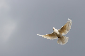 white dove flies on a background of a stormy sky Fotomurales