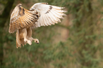 Fototapete - Flying siberian eagle owl shouting with open beak. Bubo bubo sibiricus