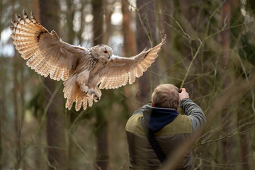 Fototapete - Siberian eagle owl landing on a falconer hands.
