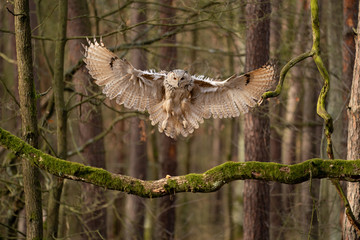 Fototapete - Big owl landing to the tree branch. Siberian eagle owl.