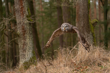 Fototapete - Great grey owl hunting in the forest. Flying owl.