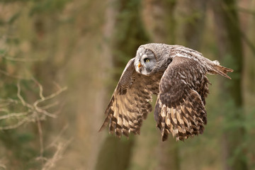 Fototapete - Closeup flying great grey owl from side view with wings in down position