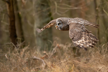 Fototapete - Flying closeup great grey owl in the forest with wingspan.