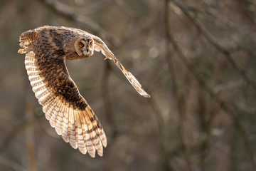 Wall Mural - Long-eared owl from closeup view in the fly with background light in a feather