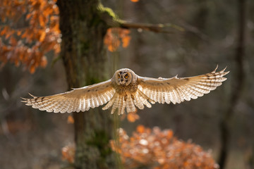 Fototapete - Long-eared owl with wide wings in flight and light bacground in feather. Asio otus
