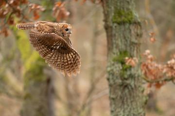 Fototapete - Twany owl in the flight. Side look to flying animal.