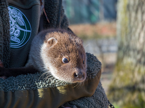Orphaned and hand reared otter baby in a wildlife rescue center