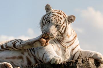Tygrys bengalski biały (Panthera tigris tigris)