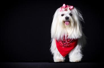 Cão branco lindo pet canino Fotobehang