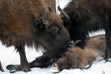 Fototapeta Herd of European bison (Bison bonasus) mourn their dead cub in winter forest of Belarus