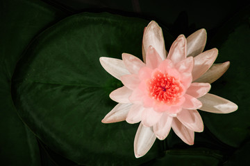 Garden Poster Lotus flower Closed up beautiful soft sweet water lily or lotus flower in the pond,in light pink tone
