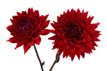 Poster de jardin Dahlia Two growing red dahlia flowers