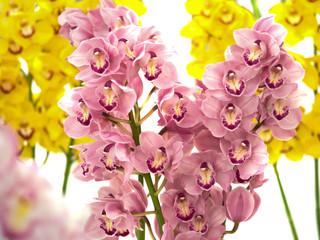Fotorollo Orchideen シンビジウム