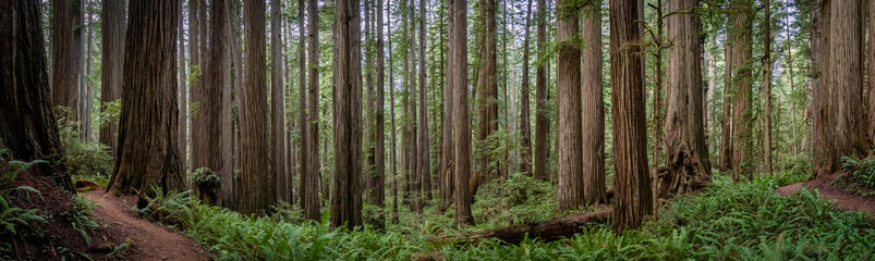 Wide angle view of hiking trail winding through massive redwood trees at Jedediah Smith State Park in Northern California
