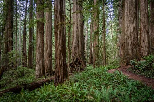 Hiking trail winding through massive redwood trees at Jedediah Smith State Park in Northern California