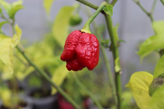 Red hot chilli pepper Trinidad scorpion moruga red on a plant. Capsicum chinense peppers on a green plant with leaves in home garden or a farm.