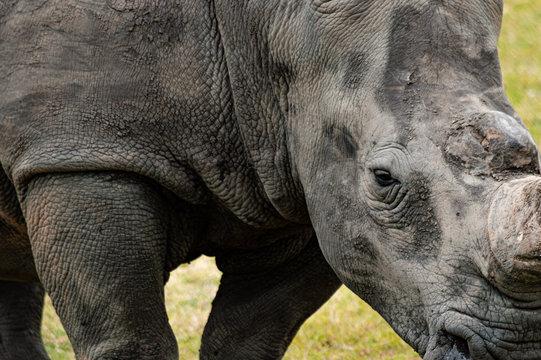 Nashorn in der Natur; Big 5; Südafrika
