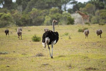 Straussen-Herde mit Jungtieren in der Steppe; Giraffe im Hintergrund; Südafrika