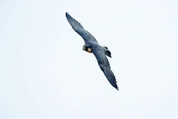 Wall Mural - Flight of Peregrine Falcon. Bird of prey with open wings. White light sky in background. Action scene in the nature habitat, Germany. Wildlife scene from nature. Wild bird in the forest, Germany.