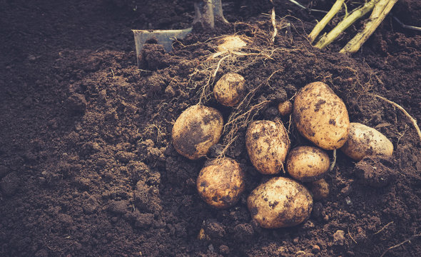 Beautiful fresh large tubers of new potatoes on a brown ground close-up.