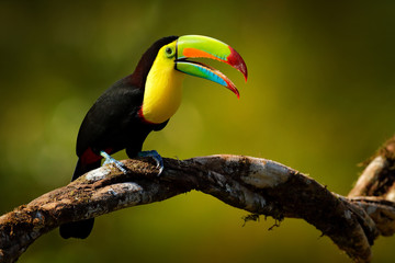Wall Mural - Keel-billed Toucan, Ramphastos sulfuratus, bird with big bill sitting on branch in the forest, Guatemala. Nature travel in central America. Beautiful bird in nature habitat.
