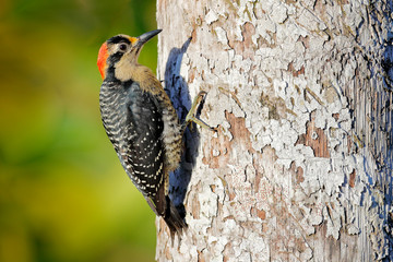 Wall Mural - Woodpecker from Costa Rica, Black-cheeked Woodpecker, Melanerpes pucherani, sitting on the tree trunk with nesting hole, bird in the nature habitat, Costa Rica. Birdwatching in South America.