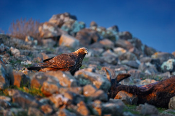 Wall Mural - Golden eagle,walking between the stone, Rhodopes mountain, Bulgaria. Eagle, evening light, brown bird of prey with big wingspan. Cow carcass on the rock with eagle, sunset.