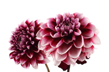 Deurstickers Dahlia Growing dahlia flowers
