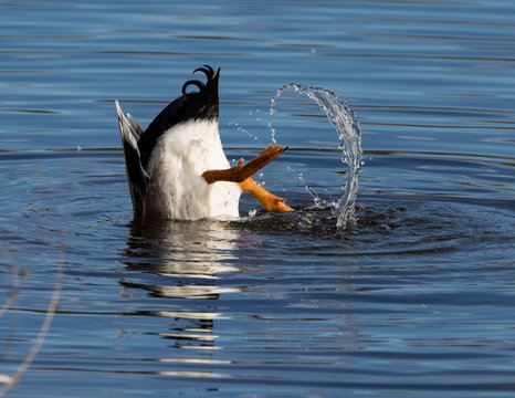 Mallard duck diving for food