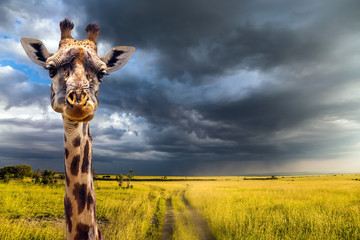 Portrait of an amusing giraffe