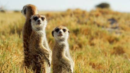 A beautiful meerkat is watching arround wildlife