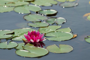 Wall Mural - Pink water lily blooms