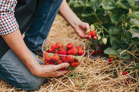 Farm worker picking strawberry in field