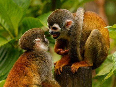two Common squirrel monkey (Saimiri sciureus)