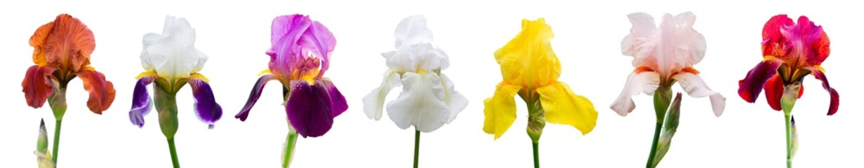 Multicolored irises on white isolated background, flowers for design_