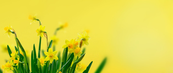Foto op Canvas Narcis Yellow daffodil flowers