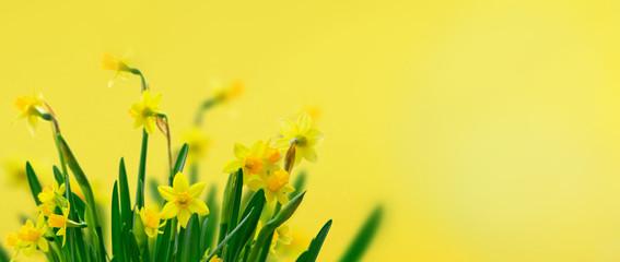Foto op Plexiglas Narcis Yellow daffodil flowers