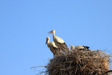 Three white storks sitting in a nest in Romania