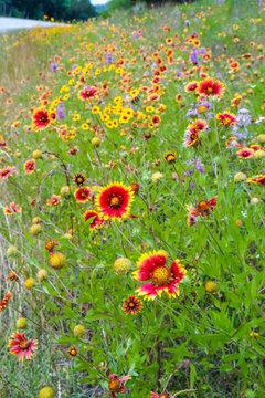 Texas wildflowers bursting in blooms on roadside