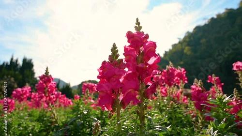 Wall mural Flower garden Snapdragon