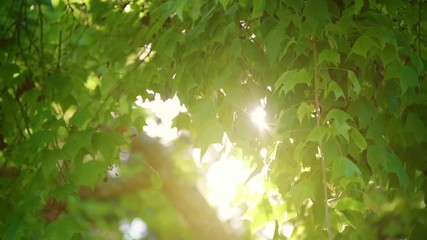Fototapete - The light is shining on the leaves and the wind blows slowly. The atmosphere is warm in summer.