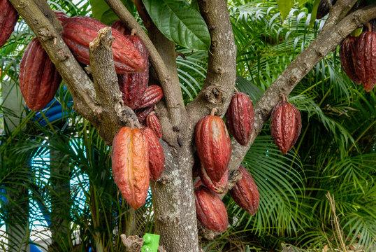 Cabosse de cacaoyer dans un jardin de l'île de La Réunion