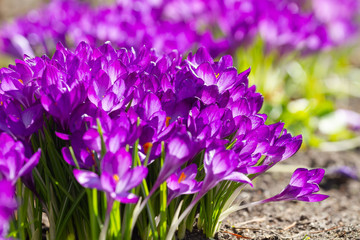 Wall Mural - Background from purple flowers crocuses