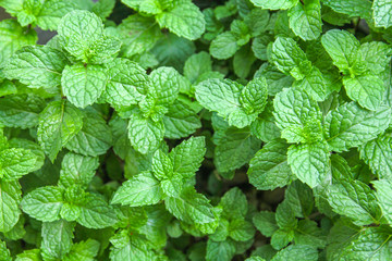 fresh mint leaves in the garden