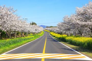 Papiers peints Gris 벚꽃과유채꽃이 아름다운 제주 녹산로의 봄 풍경이다.