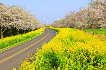 Keuken foto achterwand Geel 벚꽃과유채꽃이 아름다운 제주 녹산로의 봄 풍경이다.